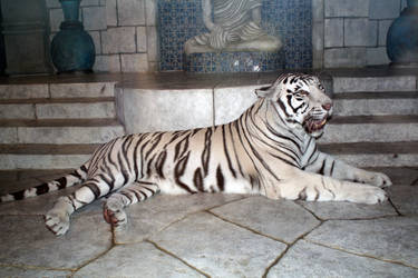 Nero the white tiger by goodiebagstock