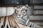 Nero the white tiger 02