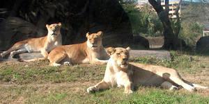 Lioness queens