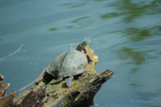 Cool Turtle