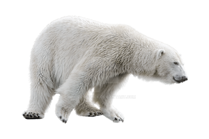 White, polar bear on a transparent background. by ZOOSTOCK