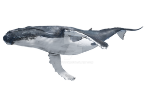 Blue whale on a transparent background by ZOOSTOCK