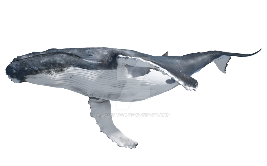 blue whale on a transparent background by zoostock on