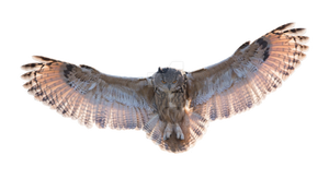 Owl in flight on a transparent background. by ZOOSTOCK
