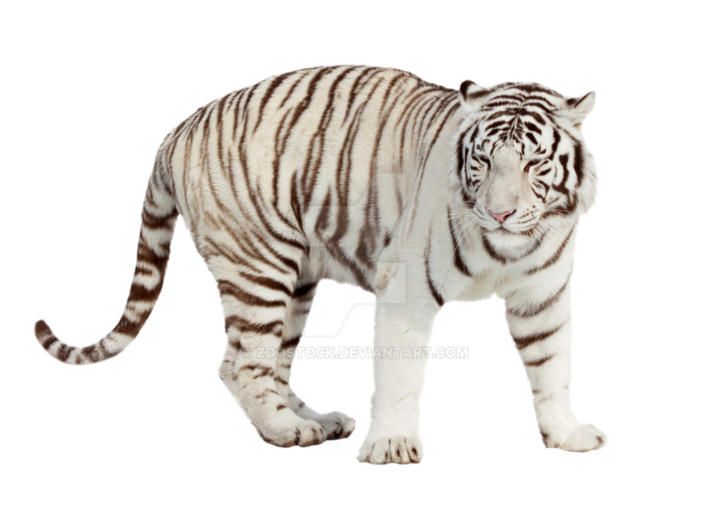 White tiger on a transparent background by ZOOSTOCK on ...