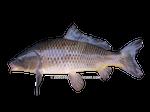 Golden carp on a transparent background