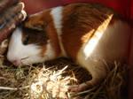 Fritzi 3 (quinea pig) - stock