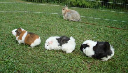 Fritzi, Tammy + Fanny 2 (quinea pigs) - stock