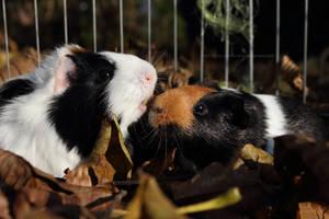 Autumn piggies by Calitha-Lena