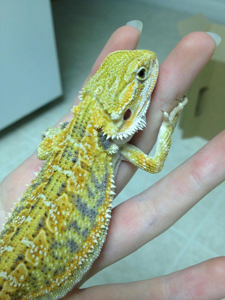 Green bearded dragons - photo#3
