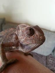 Chamaeleo chamaeleon (2)