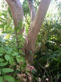 Chamaeleo chamaeleon - back to the wild (3)