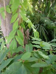 Chamaeleo chamaeleon - back to the wild (2)