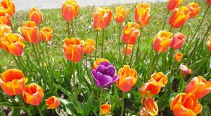 Sneaky Purple Tulip