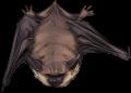 Bat by TokoTime