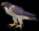 Regular Peregrine Falcon by TokoTime