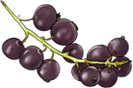 Black Currant by TokoTime