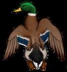 Male Mallard Duck by TokoTime