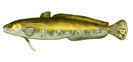 Burbot by TokoTime