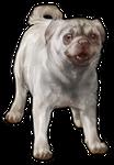 Pug  Companion- Albino by TokoTime