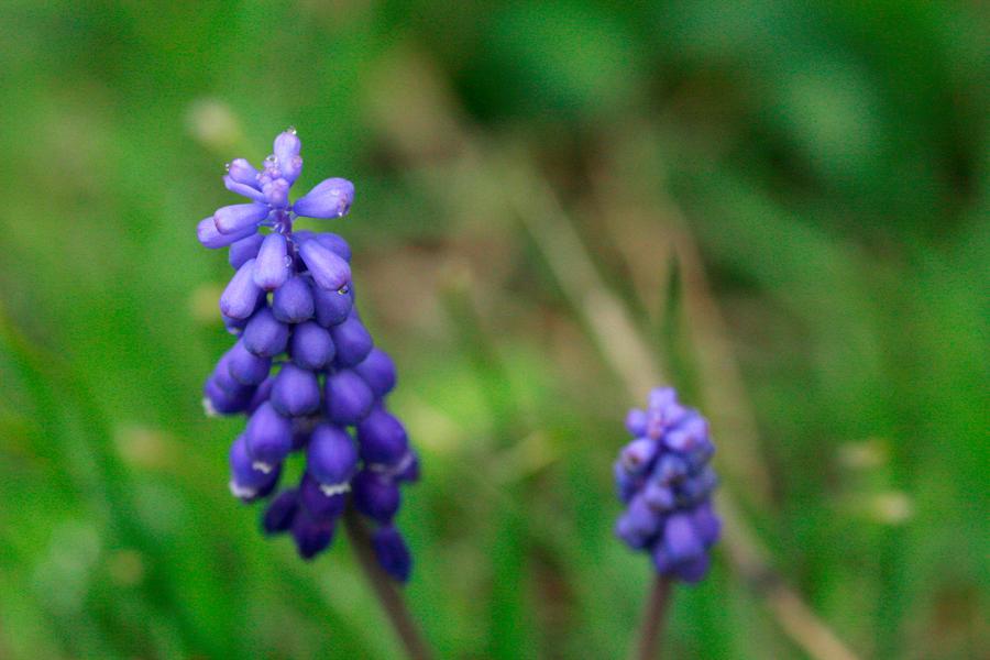индиго цветы фото