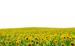 Sunflowers PNG file ..Use Anywhere