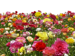 Flower Farm PNG File - Use Anywhere