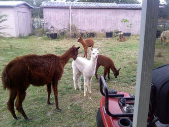 my momma's llamas by beehivesandbouffants