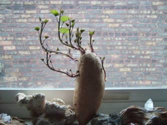 Potato Plant by TellaVision