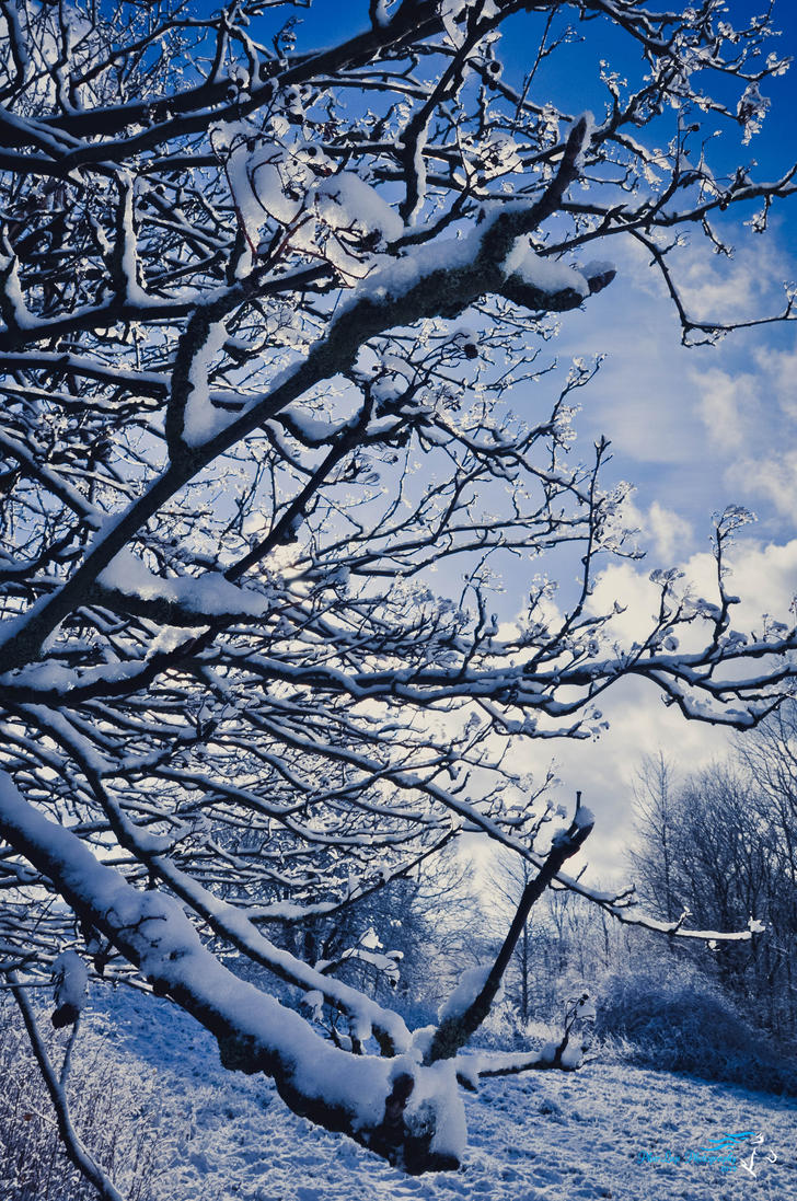 Branches covered with snow by Desirestar