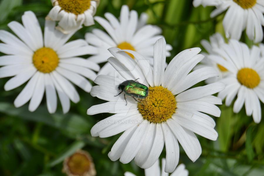 beetle by Daneas