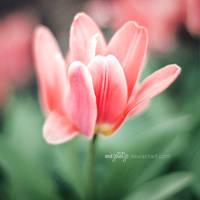red tulip by miezeTatze