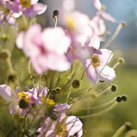 anemone by miezeTatze