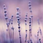 lavenders elegance by miezeTatze