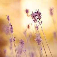evenings of lavender. by miezeTatze