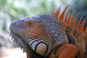 Iguana by AngiWallace