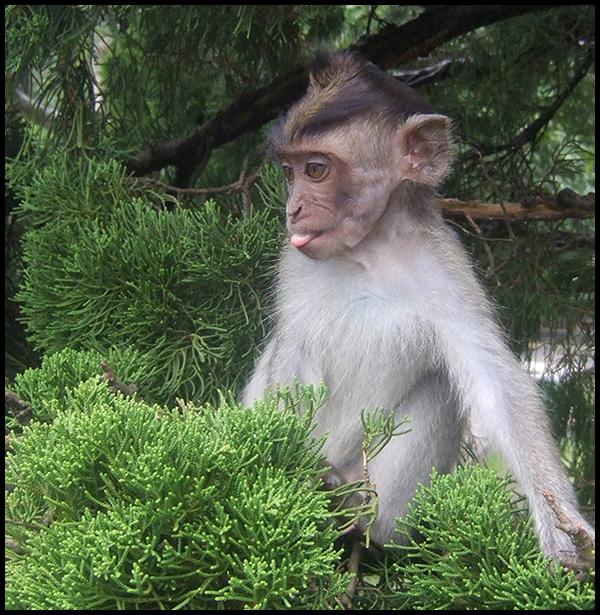 IMAGE: http://fc08.deviantart.com/fs27/f/2008/144/3/3/Cheeky_monkey_by_AngiNelson.jpg