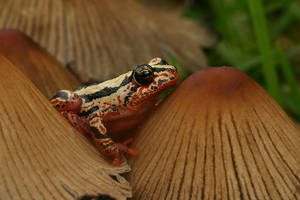 Reed frog on mushroom by AngiWallace