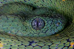 Western bush viper