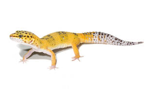 leopard gecko on white by AngiWallace