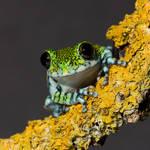 Peacock frog crop