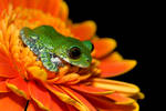 Peacock frog on orange flower
