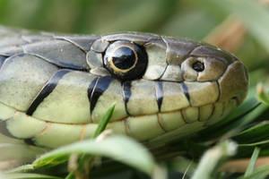 Grass snake headshot by AngiWallace