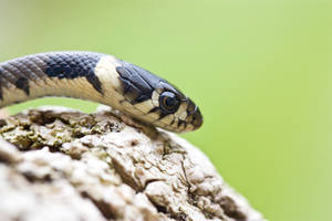Cute hatchling Grass snake by AngiWallace