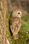 Tawny owl on a mossy tree