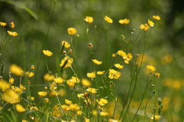 Buttercup field stock 1