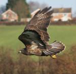 Flying eagle stock