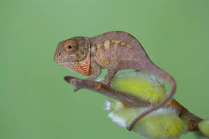 Nosy bee chameleon by AngiWallace