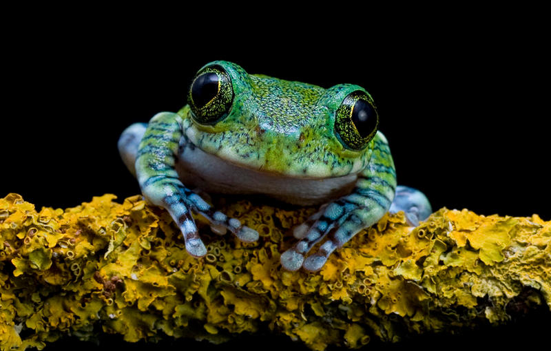 Peacock frog on lichen