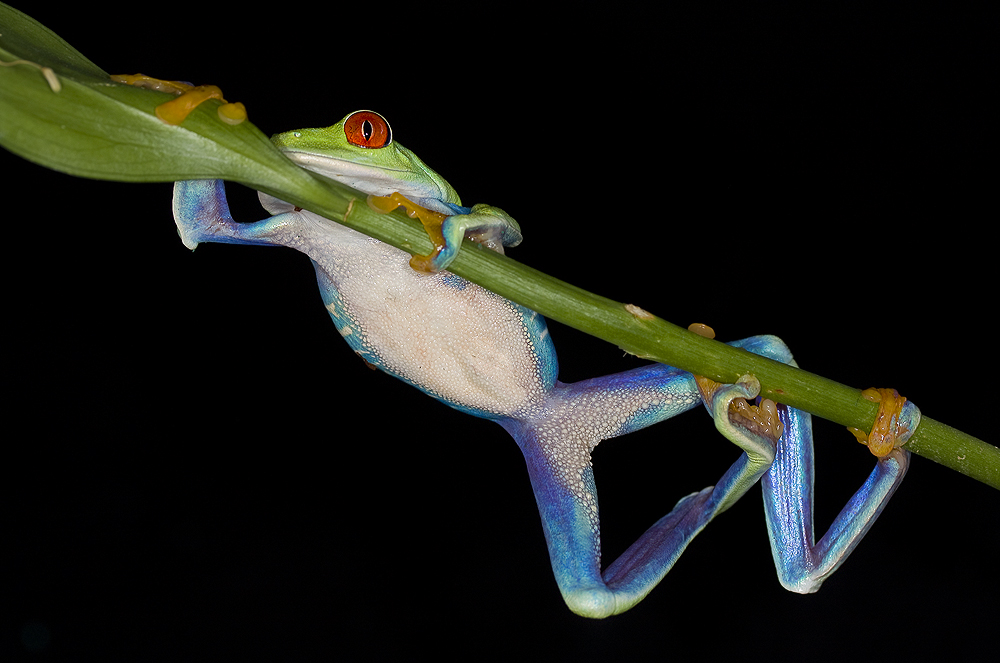 Stretchy frog by AngiWallace